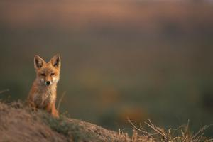 Young Red Fox by DLILLC