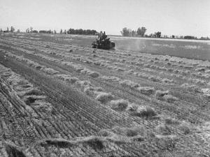 Flax Fields in Imperial Valley, Harvesting by Dmitri Kessel