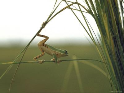 Green Tree Frog Moving Precariously From Branch to Branch, Brazil