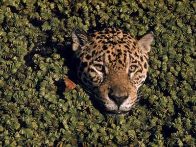 Jaguar Poking Its Head Through Plant Clogged Pool, Brazil