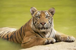 Adult Indochinese Tiger at the Waterside. by Dmitry Chulov