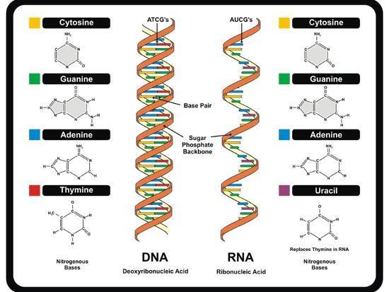 DNA and RNA-udaix-Art Print