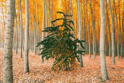 Do Your Own Thing, Northern Oregon Trees in Autumn-Vincent James-Photographic Print
