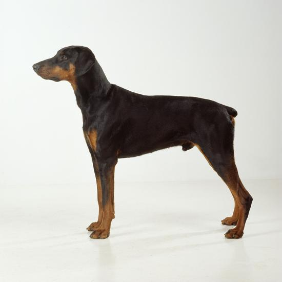 Doberman Pinscher, Standing, Side View--Photographic Print