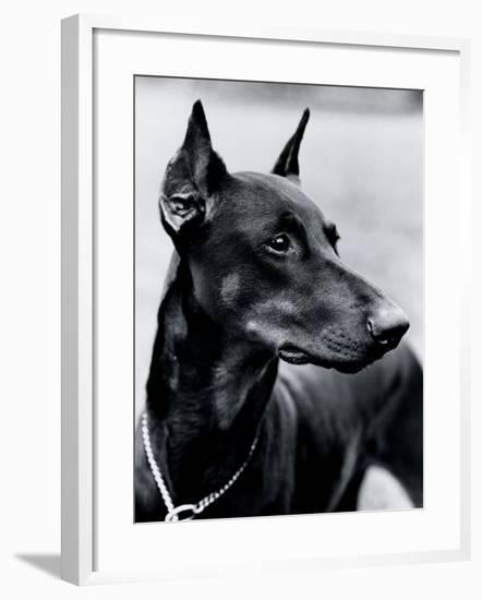 Doberman Pinscher-H. Armstrong Roberts-Framed Photographic Print