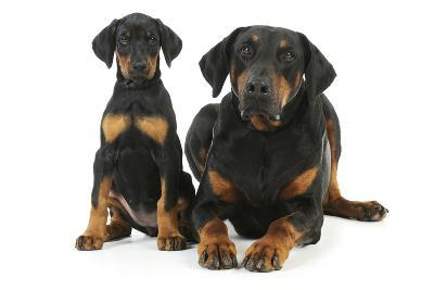 Dobermann Puppy and Adult--Photographic Print