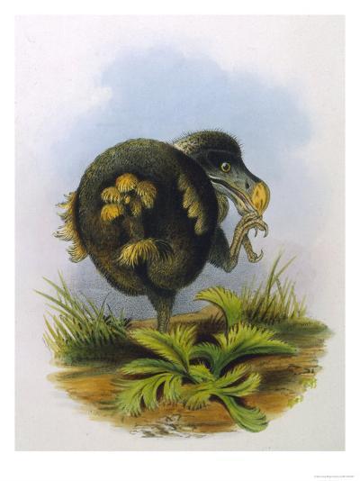 Dodo Extinct Bird--Giclee Print