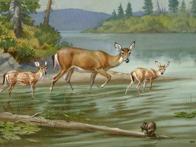 Doe and Her Fawns Walk Cautiously into the Water-Walter Weber-Photographic Print