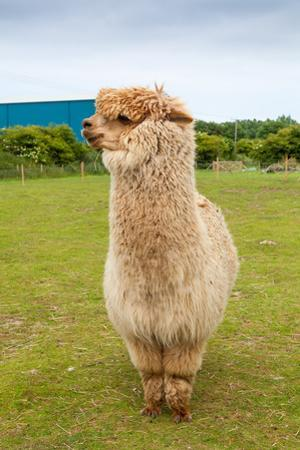Single Alpaca Showing its Thick Fleece by doethion