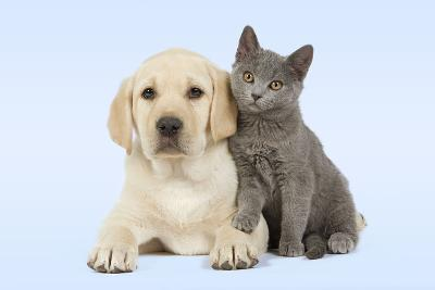 Dog And Cat Yellow Labrador Puppy With Chartreux Kitten Photographic