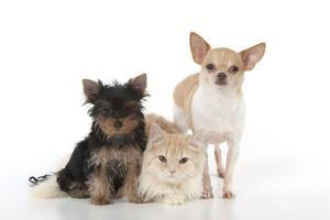 Dog and Cat Yorkshire Terrier Puppy Sitting And