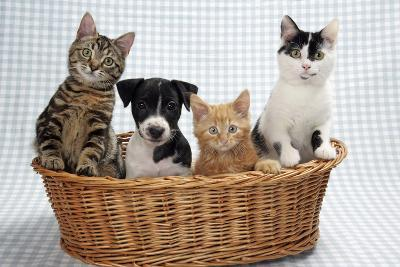 Dog and Cats Three Kittens and a Puppy Sitting in Basket--Photographic Print