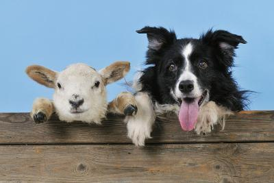 Dog and Lamb, Border Collie and Cross Breed Lamb--Photographic Print