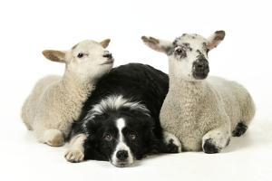 Dog and Lamb, Border Collie Sitting Between Two Cross