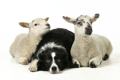 Dog and Lamb, Border Collie Sitting Between Two Cross--Photographic Print