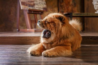 Dog Breed Chow Chow, Red Dog on a Retro Vintage Studio Background- dezi-Photographic Print