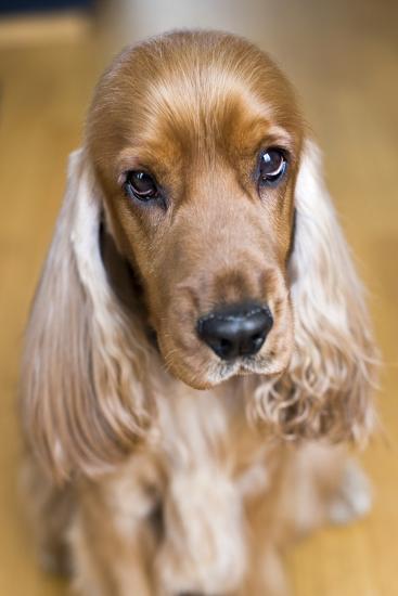 Dog Breeds - Cocker Spaniel - Puppies - English Cocker-Philippe Hugonnard-Photographic Print