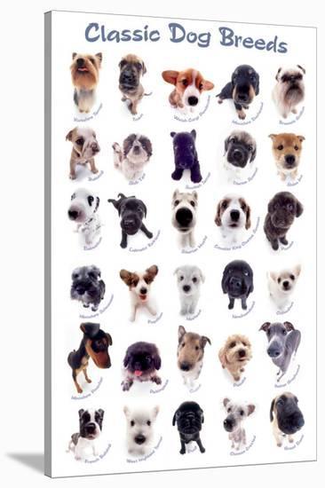 Dog Breeds-Yoneo Morita-Stretched Canvas Print
