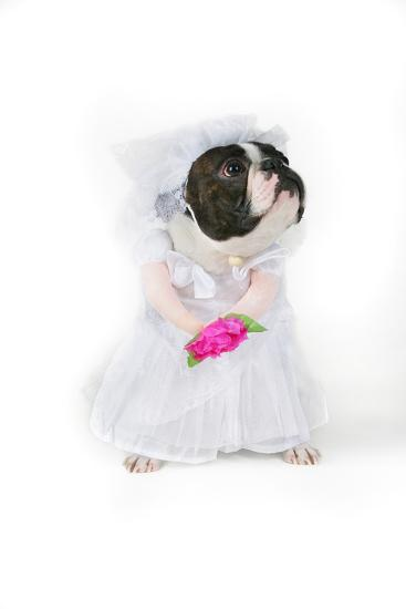 Dog Bride-graphicphoto-Photographic Print