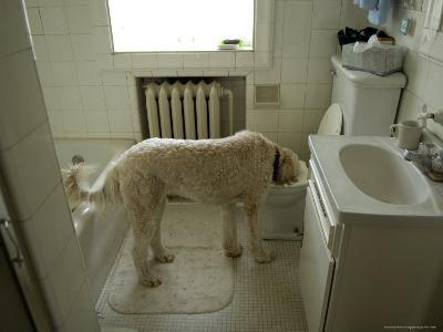Dog Drinks Out of a Toilet-Joel Sartore-Photographic Print
