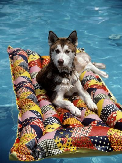 Dog Floating on Raft in Swimming Pool-Chris Minerva-Photographic Print