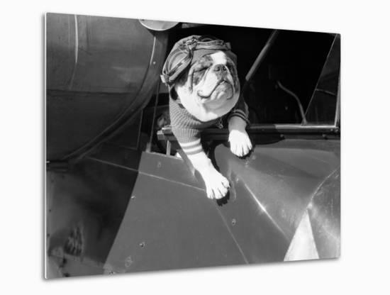 Dog Flying in Aircraft-Bettmann-Metal Print