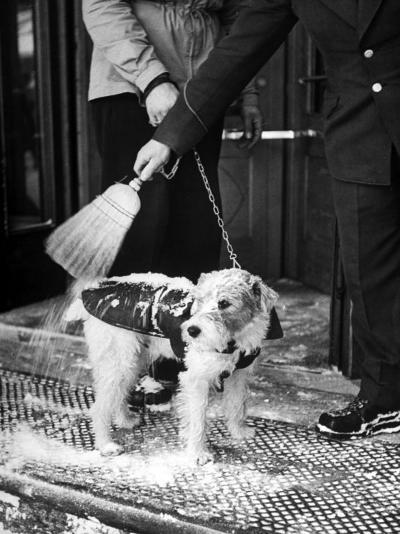 Dog Gets Snow Brushed from His Coat by Hotel Doorman-Alfred Eisenstaedt-Photographic Print