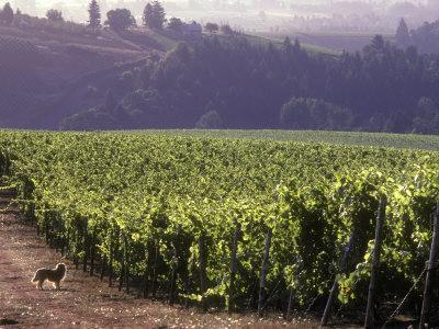 https://imgc.artprintimages.com/img/print/dog-in-knutsen-vineyard-dundee-willamette-valley-oregon-usa_u-l-p4lplv0.jpg?p=0