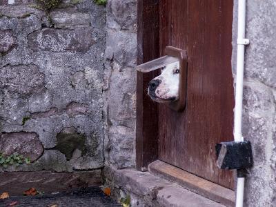 Dog Poking its Head through a Cat Flap-david muscroft-Photographic Print