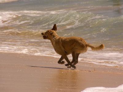 https://imgc.artprintimages.com/img/print/dog-runs-on-the-beach-hawaii_u-l-p2wzzl0.jpg?p=0
