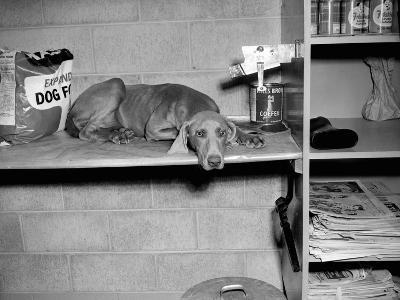 Dog Sits on a Shelf at Shelter in Oakland, California, Ca. 1963.-Kirn Vintage Stock-Photographic Print