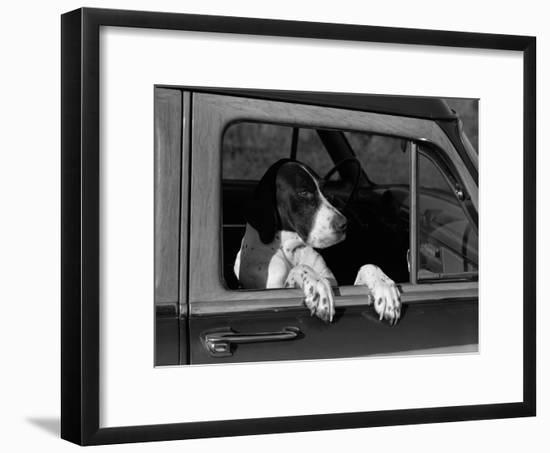 Dog Sitting in Car, Leaning Out of Passenger Window-H. Armstrong Roberts-Framed Photographic Print