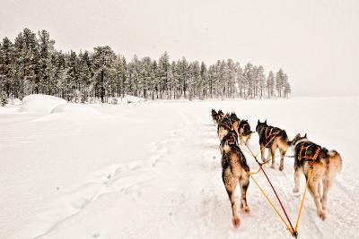Dog Sledding Across Frozen Lakes in Jokkmokk, Swedish Lapland-Lola Akinmade Akerstrom-Photographic Print