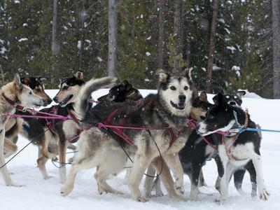 https://imgc.artprintimages.com/img/print/dog-sledding-team-during-snowfall-continental-divide-near-dubois-wyoming-united-states-of-ameri_u-l-pfueii0.jpg?p=0