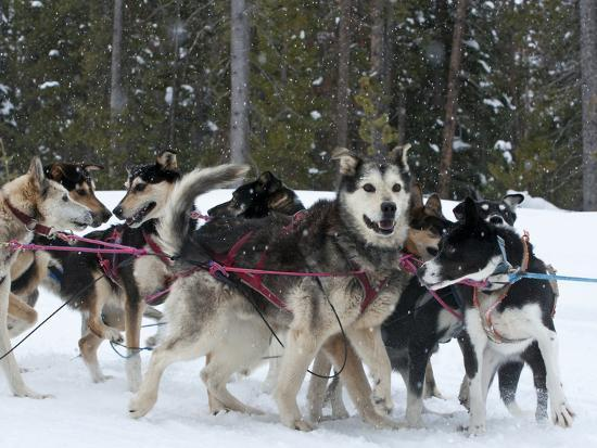 Dog Sledding Team During Snowfall, Continental Divide, Near Dubois, Wyoming, United States of Ameri-Kimberly Walker-Photographic Print