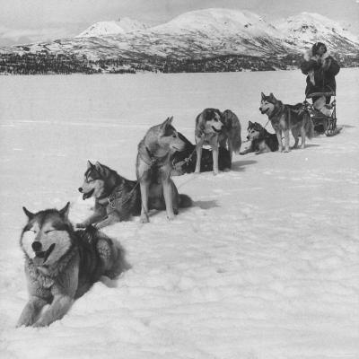 Dog Sledding Team-Nat Farbman-Photographic Print