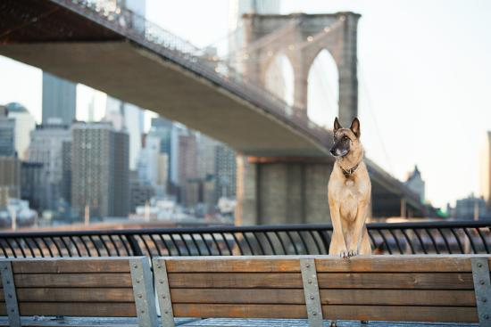 Dog Standing in Front of Brooklyn Bridge and NYC Skyline Horizontal-The Dog Photographer-Photographic Print