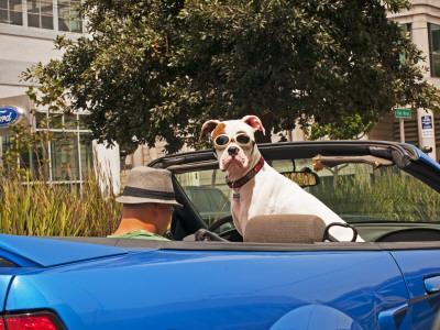 Dog Wearing Goggles, Passenger of Convertible Car on Vanness Avenue-Sabrina Dalbesio-Photographic Print