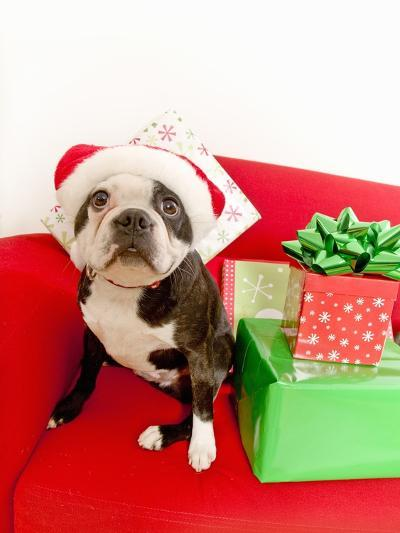 Dog wearing Santa Claus hat next to gifts--Photographic Print