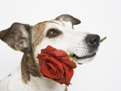 Dog with Red Rose-Ursula Klawitter-Photographic Print