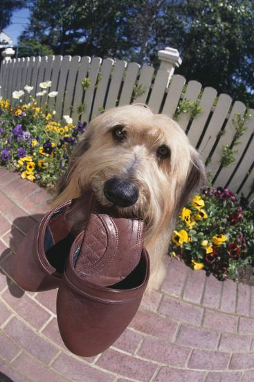 Dog with Slippers in Mouth-DLILLC-Photographic Print