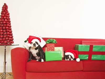Dogs and Christmas gifts on sofa--Photographic Print