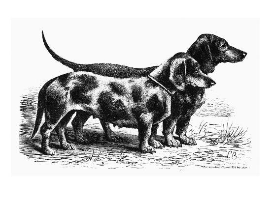Dogs: Dachshunds--Giclee Print