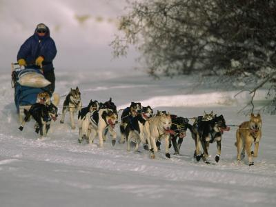 Dogs Pull a Sled across Snow-Nick Norman-Photographic Print