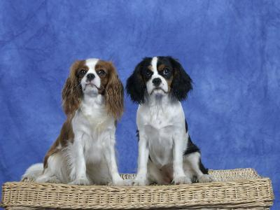 Dogs, Two Cavalier King Charles Spaniels on Basket-Petra Wegner-Photographic Print