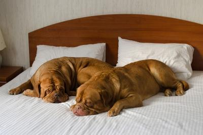 Dogue De Bordeaux Funny Couple In The Bed-vitalytitov-Photographic Print