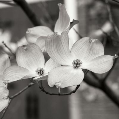 https://imgc.artprintimages.com/img/print/dogwood-blossoms-ii-bw-sq_u-l-q10ppbx0.jpg?p=0