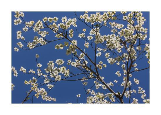Dogwood Blossoms II-William Neill-Giclee Print