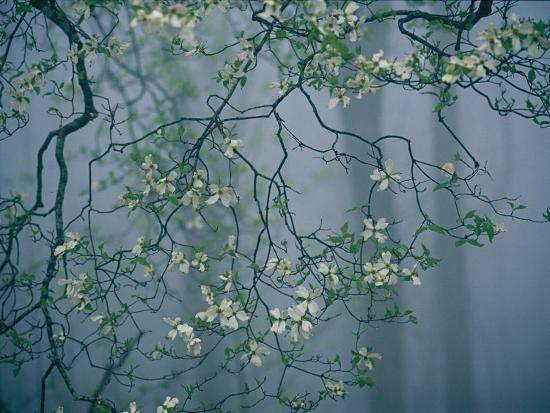 Dogwood Blossoms in a Foggy Forest-Raymond Gehman-Photographic Print