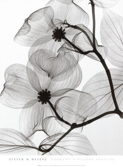Dogwood Blossoms Positive-Steven N^ Meyers-Art Print